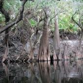 Econ River - Pneumatophores