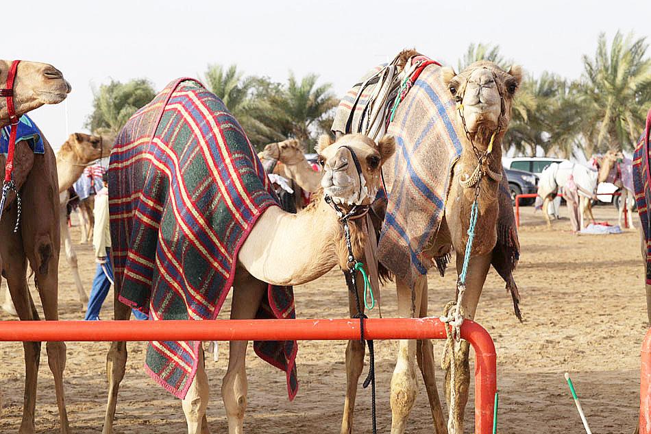 Wyścigi wielbłądów - Al Marmoom, Dubai