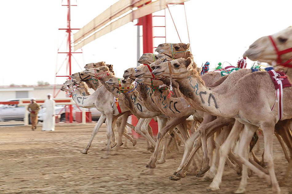 Wyścigi wielbłądów - Al Marmoom, Dubai.