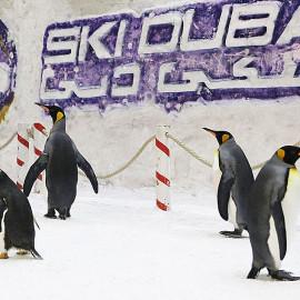 Pingwiny na sztucznym stoku narciarskim: Ski Dubai