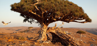 Socotra_Dragon-Blood_Vulture