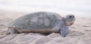 Oman, Ras-Al-Jinz, Turtle watching reserve