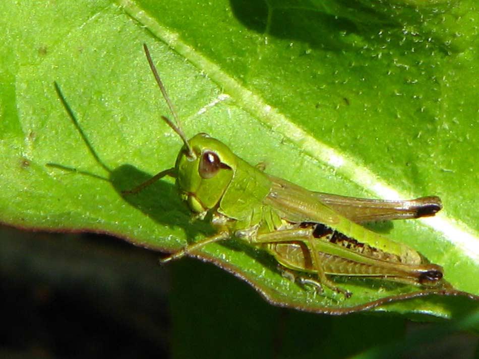 Grasshopper -- Photo by Krystyna Durtan