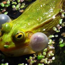 Green frog - Photo by Krystyna Durtan