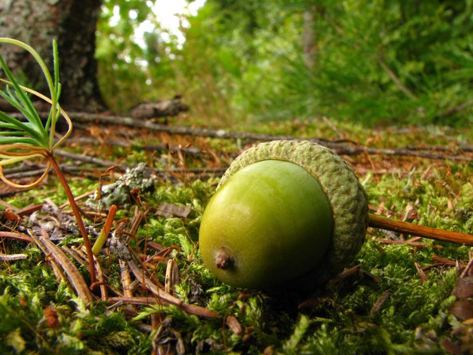 Oak Acorn -- Photo by Krystyna Durtan