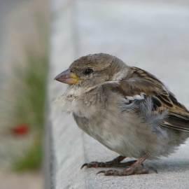 Sparrow -- Photo by Krystyna Durtan