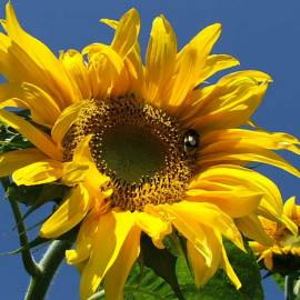 Sunflower -- Photo by Krystyna Durtan