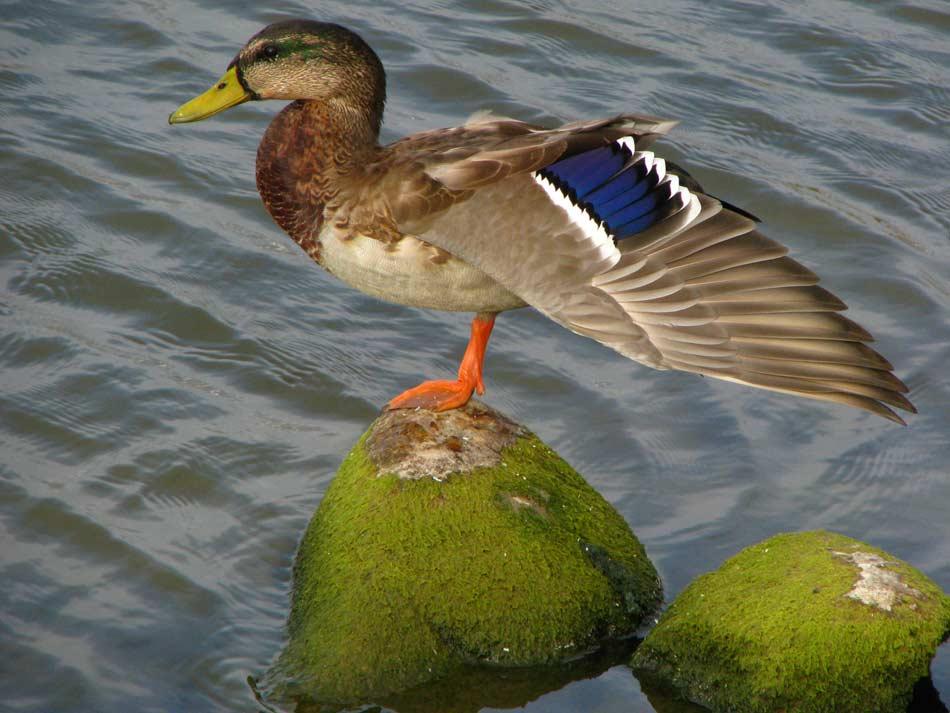 Wild duck -- Photo by Krystyna Durtan