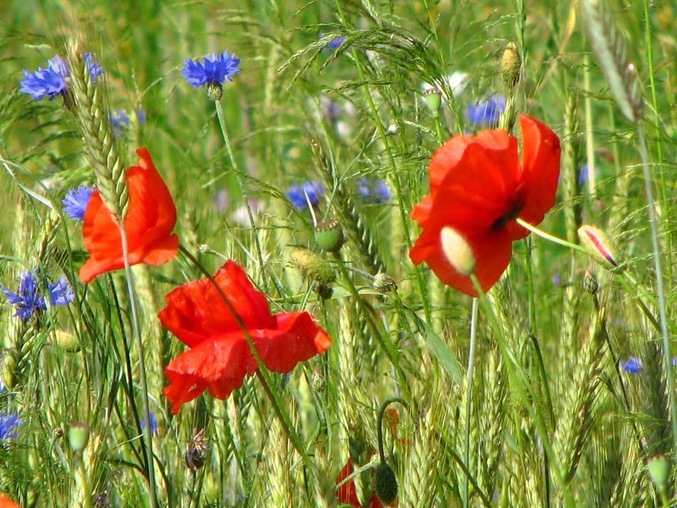 Wild poppies -- Photo by Krystyna Durtan