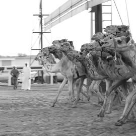 Camel Race - Al Marmoum Race Track