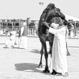 Black dromedary and his master -- Al Dhafra Festival