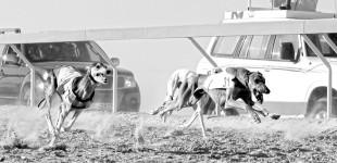 Goraczka-psich-wyscigow-Al-Dhafra-Festiwal