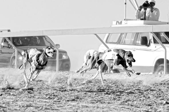 Al Dhafra Festival Saluki Race