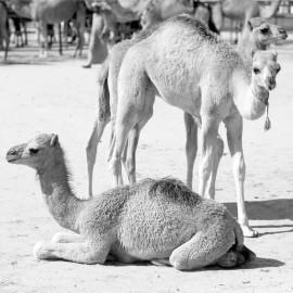 Young dromedary -- Al Dhafra Festival