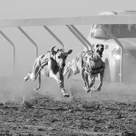 Saluki Race -- Al Dhafra Festival