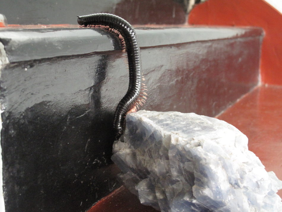Millipede strolling on stairs and rocks.