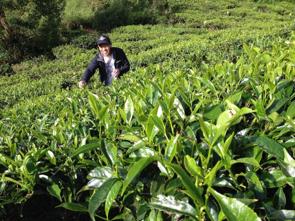 Kai in tea plantation in Nuwara Eliya, Sri Lanka