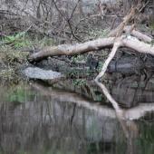 Econ River - Gator