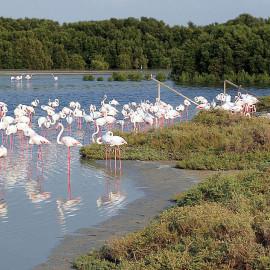 Flamingi w rezerwacie Ras Al-Khor, Dubaj