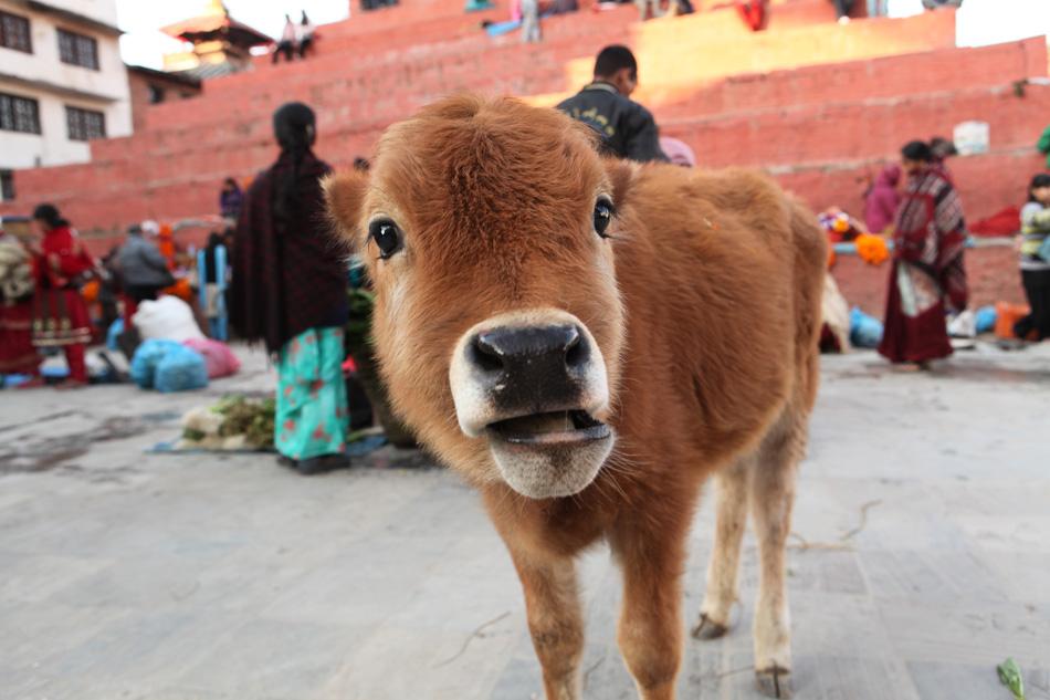 Cow's calf at open-air market in Kathmandu, Nepal